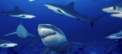 Shark-Swarm2